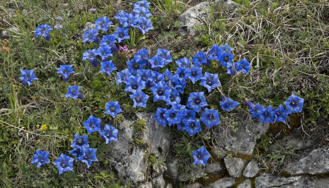 Synes du disse blomstene er fine? De er mye forsket på, og de kan oppfattes som attraktive for oss. Dette er Gentiana ligustica.
