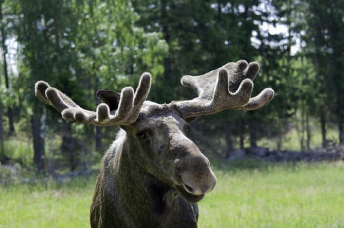 Elgen har i løpet av de siste tiåra tatt over for kua som viktigste beitedyr i utmarka i Norge. (Foto: Colourbox)