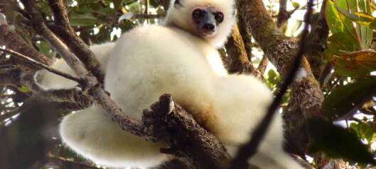 Nå vet forskere hvor mange folk som spiser lemurer på Madagaskar
