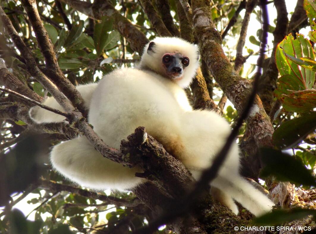 Lemurer som denne (Propithecus candidus) lever i jungelen på Madagaskar og er en truet dyreart. Noe av det som truer den, er oss mennesker.