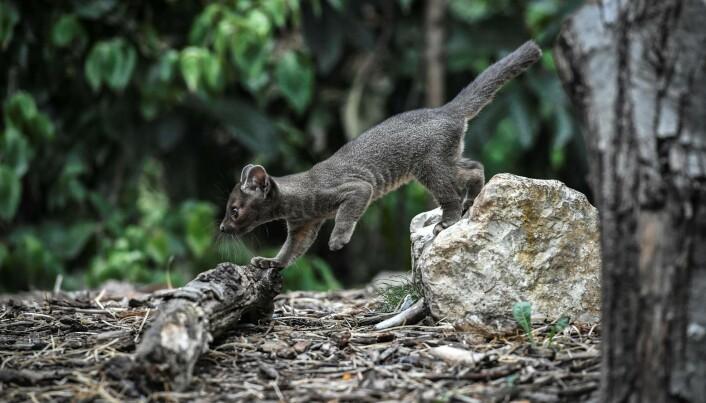 Fossaer ligner på store katter og tilhører snikekattfamilien. De finnes bare på Madagaskar og er det største rovdyret på øya.