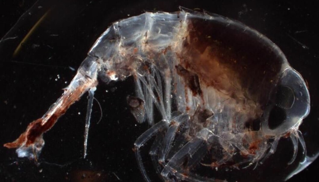 """""""Tangloppe"""" er kanskje ikke det ordet som setter fantasien din løs, men i mikroskopet kommer denne amfipoden til sin rett. Det er kanskje ikke så vanskelig å skjønne hvor inspirasjonen til Ridley Scotts """"Alien"""" er inspirert av små havdyr. Hanne Østli Jakobsen"""