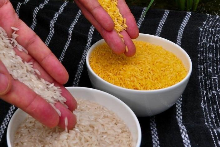 Rissorten 'Golden rice' er genmodifisert til å innehalde vitamin A. (Foto: Isagani Serrano, International Rice Research Institute (IRRI), CC)