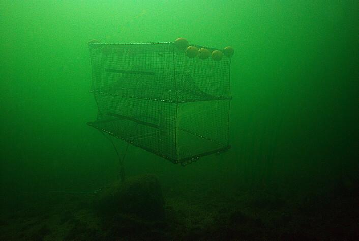 Den svenske studien omtales som den første i verden som viser at lysfiske kan brukes på torsk. (Foto: Sveriges lantbruksuniversitet)