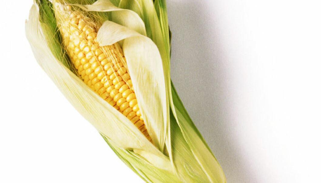Tester mais som tåler tørke