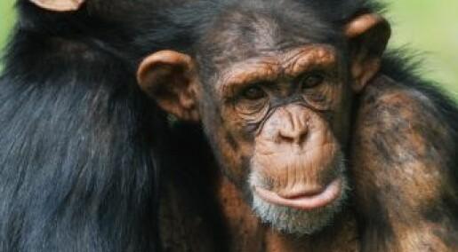 Sjimpanser har sexperimentert mer enn oss