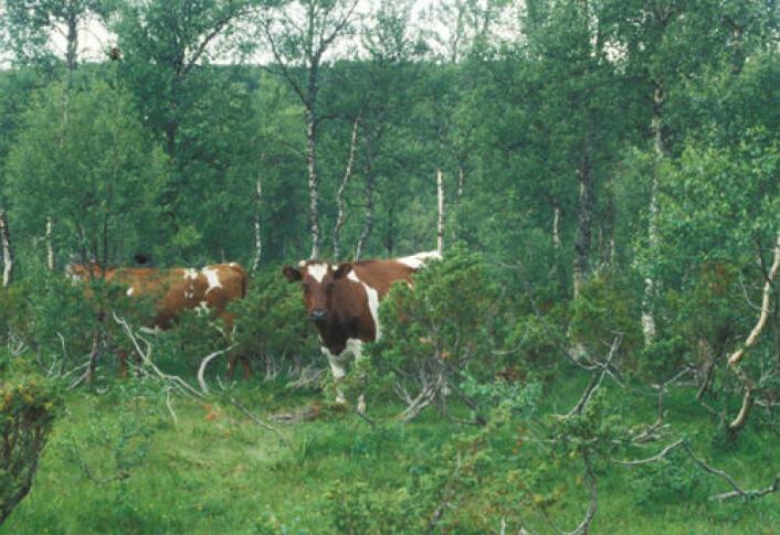 Sjeldent syn: Ku på utmarksbeite. Bilde fra Budal i Sør-Trøndelag. (Foto: Gunnar Austrheim)