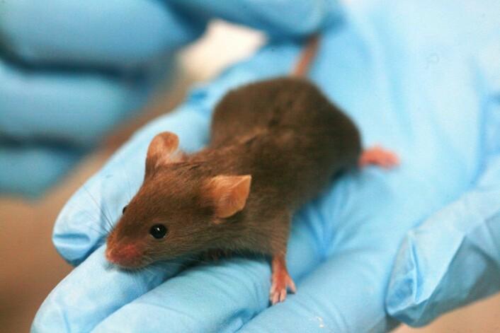 En helt vanlig tarmbakterie gjorde autistiske mus nesten helt frie for symptomer. Den kunnskapen kan åpne opp for nye behandlingsmuligheter, sier dansk professor. (Foto: Wikimedia Commons)