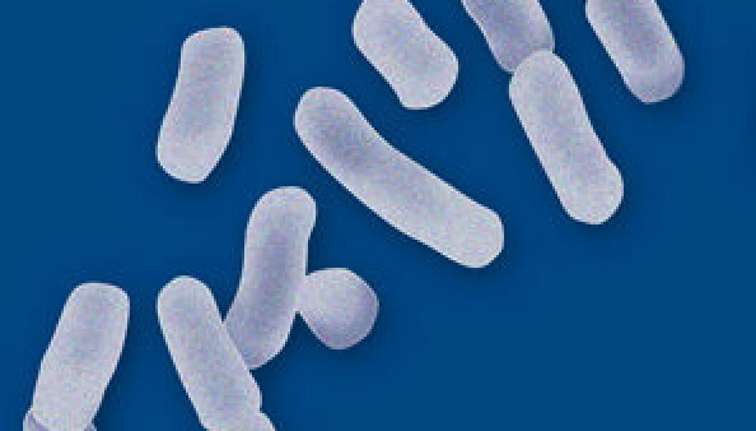 Melkesyrebakterier er nyttige bakterier som gjennom historien har blitt forbundet med fermenteringer av mat. (Foto: Kjell J. Merok, Nofima)