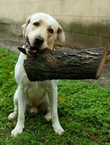 Noen hunder er alltid sultne - labrador er en av dem. Her; en lys variant som antakelig ikke har planer om å spise en vedkubbe. (Foto: Colourbox)