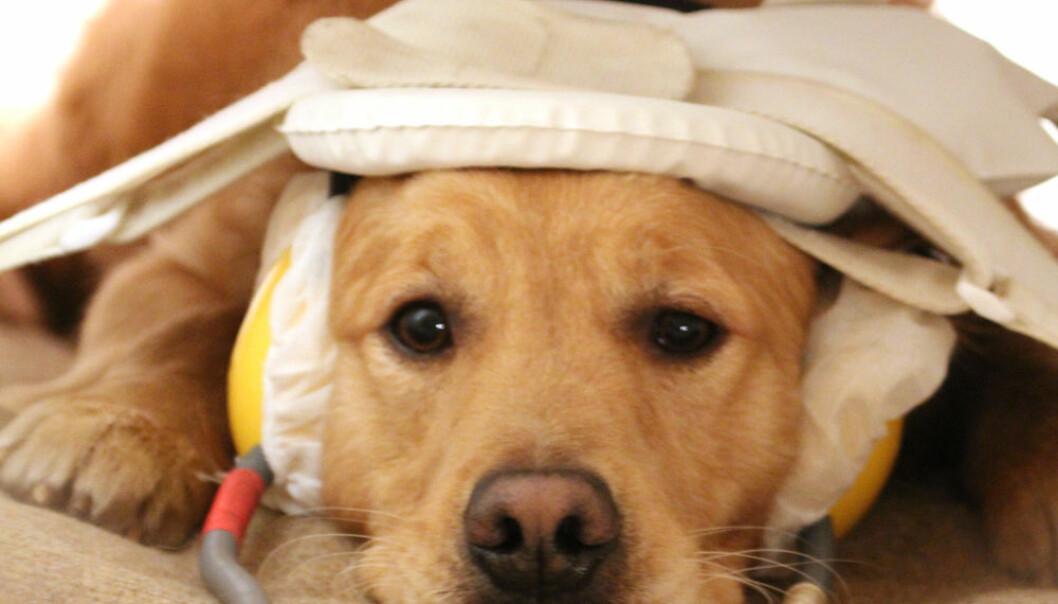 Tålmodig hund i hjerneskanneren. Eniko Kubinyi