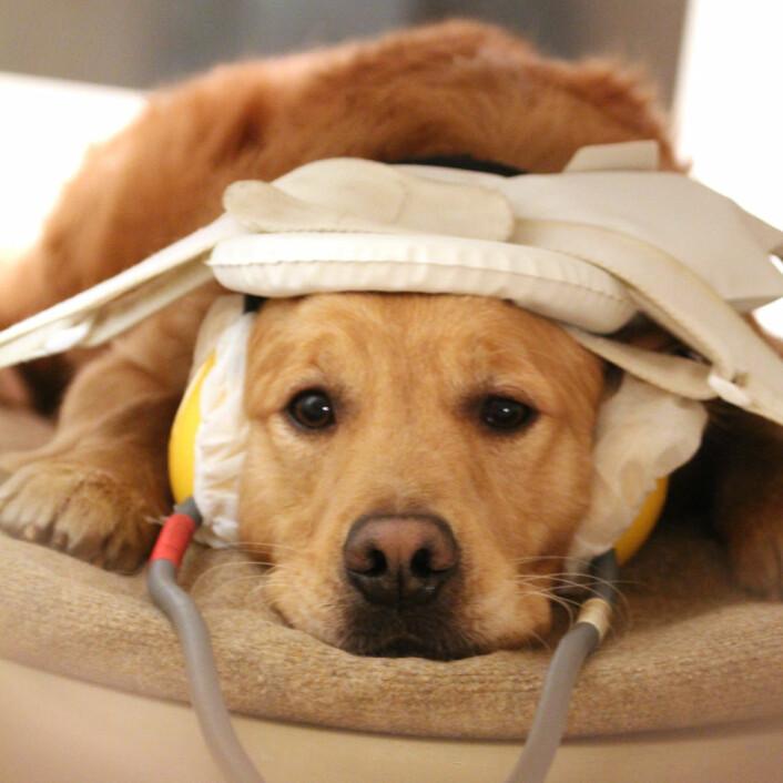 Tålmodig hund i hjerneskanneren. (Foto: Eniko Kubinyi)