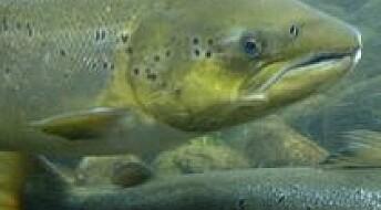 Fisk som tåler mer og trives bedre