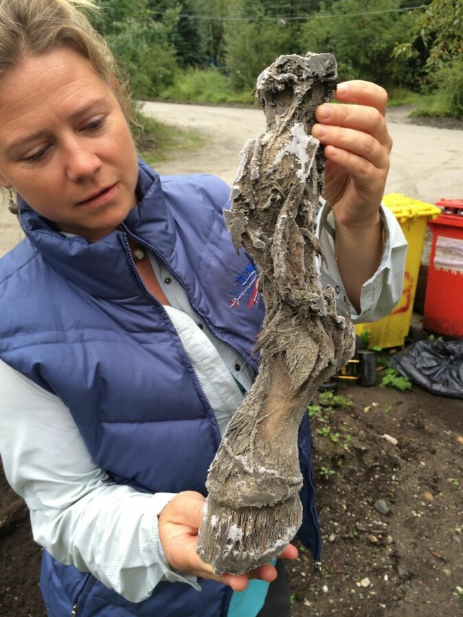 Paleontologist Aisling Farrell holds a mummified frozen horse limb recovered from a placer gold mine in the Klondike goldfields in Yukon Territory, Canada. Ancient DNA recovered from horse fossils reveals gene flow between horse populations in North America and Eurasia.
