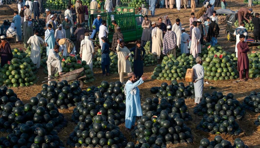 Dette er et vannmelon-marked i Peshawar i Pakistan i april 2021. Vannmelon dyrkes i mange land, men den største produsenten er Kina.