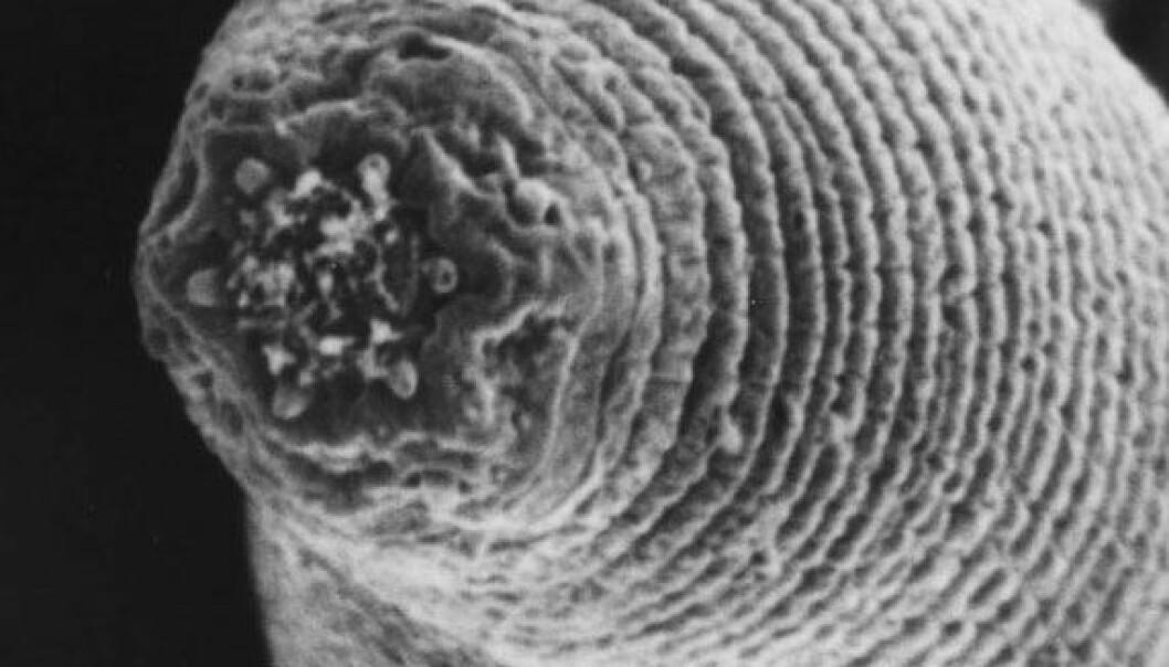 Nematode funnet 1,3 km ned i jordskorpa. (Foto: Gaetan Borgonie, Ghent University)