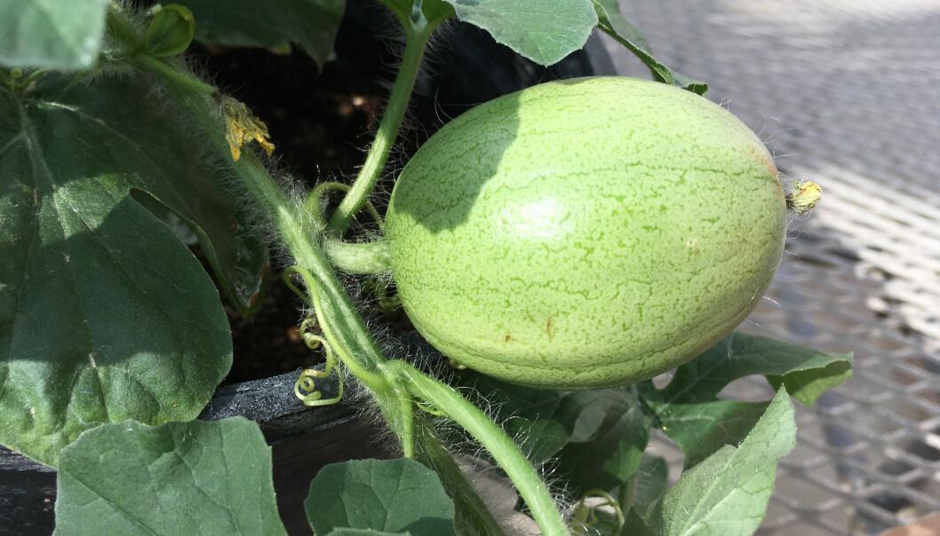 Kordofan-melon, slik den framstår på planten.