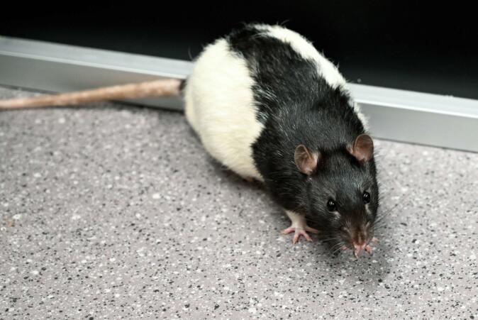 Forskerne brukte rotter i forsøket.