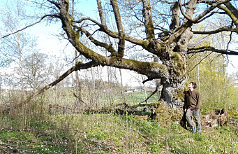 Old oak trees are nature's service station and full of drama