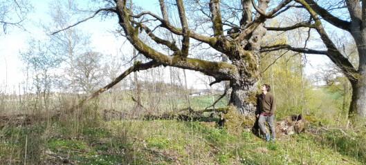 Gamle eiketrær er naturens servicestasjon