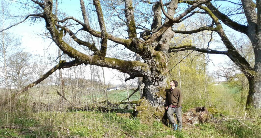 – Gamle eiketrær er nøkkelelementer for det biologiske mangfoldet i landskapet, og hotspots for dyreliv, sier ph.d.-kandidat Ross Wetherbee ved NMBU.