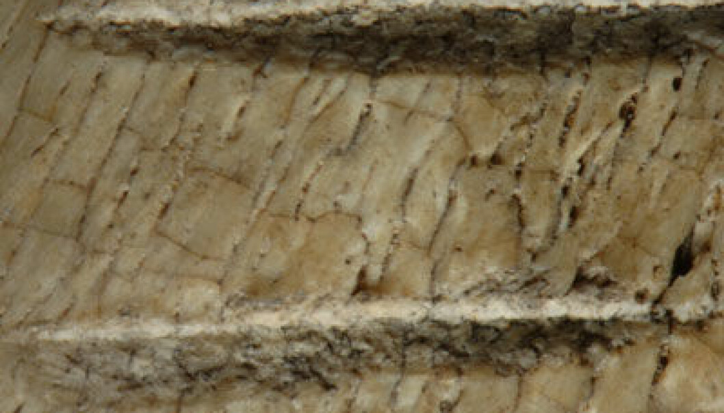 Kutt i dyreknokler 3,4 mill år, Afar, Etiopia. (Foto: Dikika Research Project)