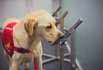 Hunder klarte å lukte covid-19 på ett sekund