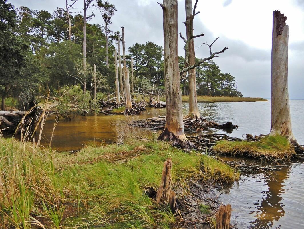 Disse trærne som står som spøkelser langs vannkanten i Nord-Carolina i USA slipper ut klimagasser, ifølge ny studie.