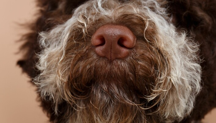 Hunder har mye bedre luktesans enn mennesker. Kanskje de kan hjelpe oss med korona-hurtigtesting?