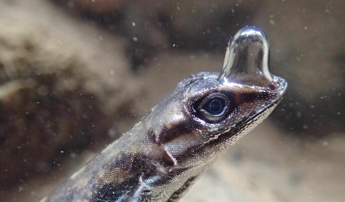 Denne øgla har sitt eget dykkerutstyr