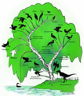 """""""Her ser du Gansus yumenensis (hvit) sin posisjon i fuglenes utviklingstre. Gansus er det eldste kjente medlemmet av Ornithurae, gruppen som omfatter moderne fugler og deres nære slektninger. Grenen til høyre viser de mer primitive fuglene, deriblant Archaeopteryx. Grafikk: Mark A. Klingler/CMNH"""""""