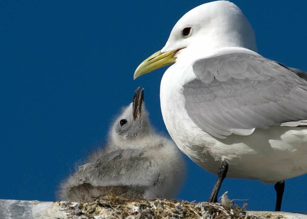 The number of chicks produced per female per year, signals parallel decline in ocean health and changes in ecosystems.