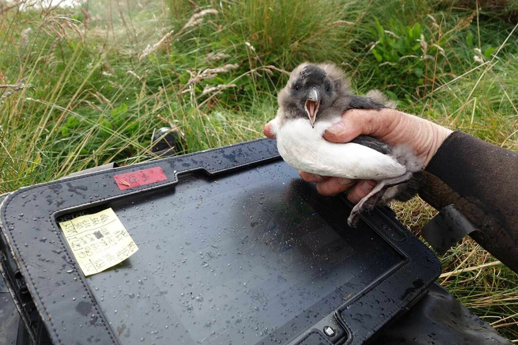 The puffin study at Røst has been ongoing uninterruptedly since 1964. Each breeding season records, among other things, the puffins' growth and survival.