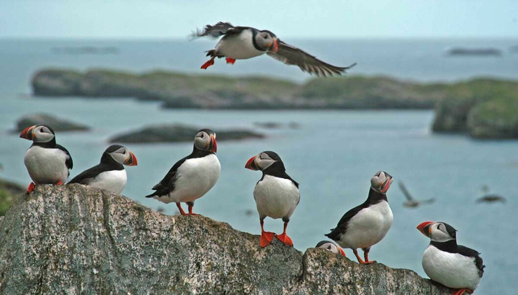 A new, global study published in Science shows declining productivity among seabirds throughout the northern hemisphere. Puffins are one of the species affected.