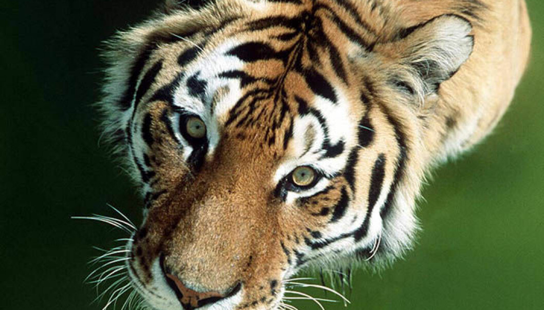 Bare 3200 ville tigre igjen