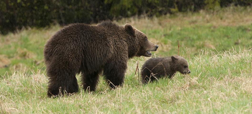 Så mye gaupe, jerv, brunbjørn og ulv er det i Norge