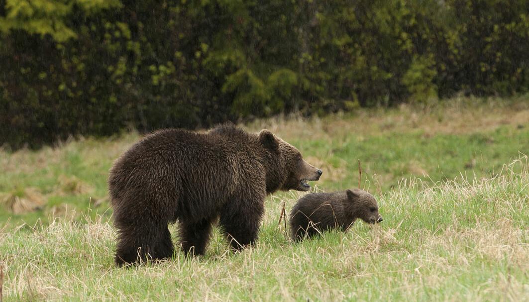 I den årlige innsamlingen av DNA-prøver fra brunbjørn i Norge i 2020 ble det påvist 150 individer. Her ei binne med unge.