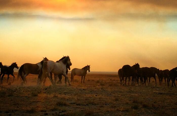 Ville hester er en stolthet og en utfordring i Nord-Amerika.
