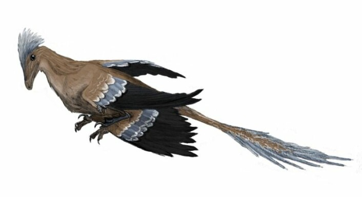 """""""Illustrasjon av hvordan Microraptor kan ha sett ut. (Illustrasjon: Matt Martyniuk, Creative Commons 3.0)"""""""
