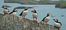 Forskere anbefaler bedre vern for sjøfuglene