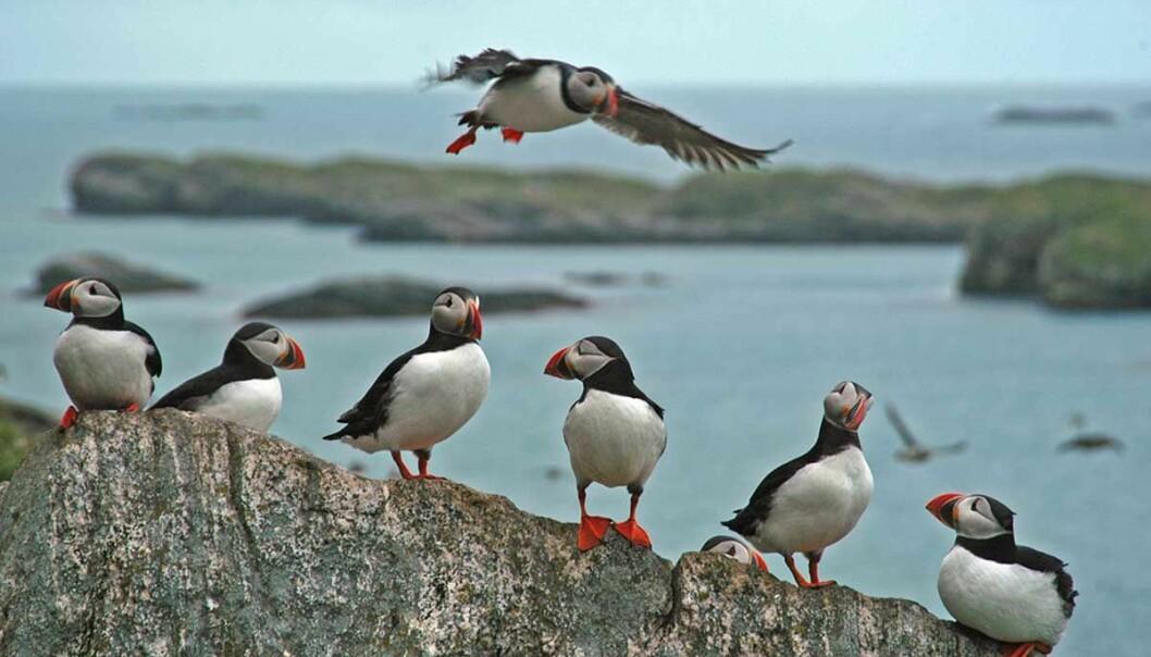 En ny, global studie viser økende hekkesvikt blant sjøfugl over hele den nordlige halvkule. Lunde er en av artene som påvirkes.