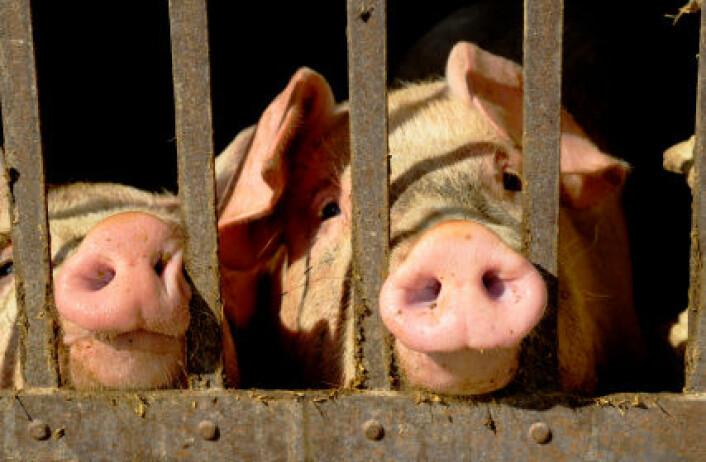 """""""Edwards forteller at griser er glad i ting de kan rote rundt i, tygge på og utforske, og at de lett blir påvirket av omgivelsene sine. (Illustrasjonsfoto: iStockphoto)"""""""