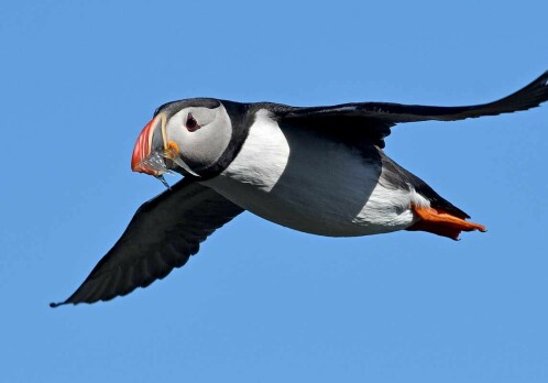 Puffin hunting in Iceland gives a unique insight into climate effects