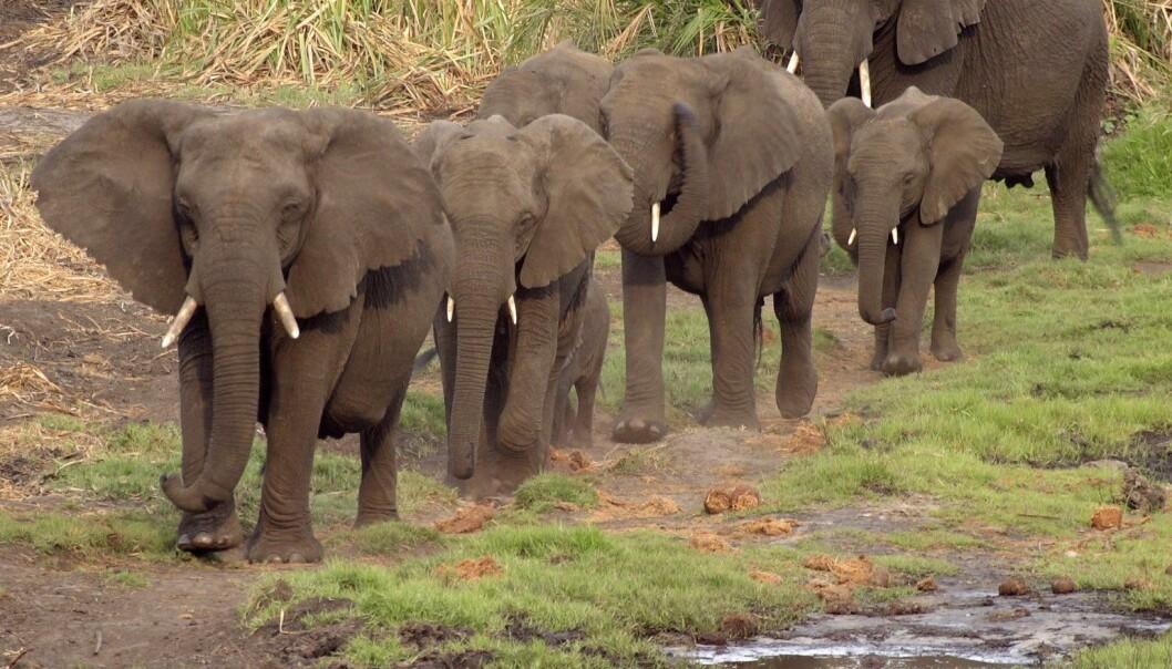 Afrikanske elefanter (Foto: Colourbox)