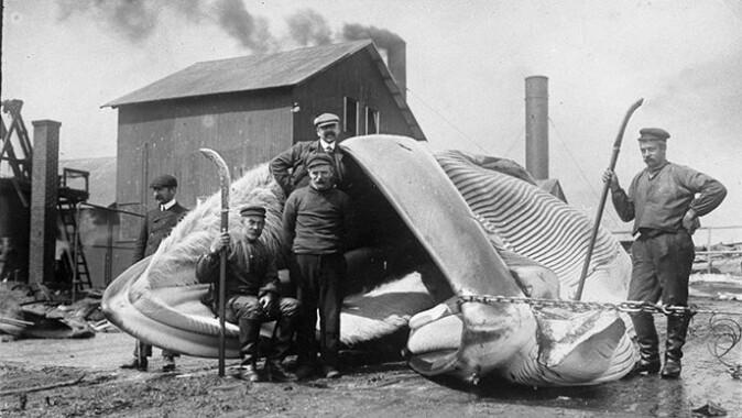 Hvalen har spilt en viktig rolle i utviklingen av vestlig økonomi. Her poserer fire menn foran en hval på en fangststasjon Olnafirth, Shetland i 1906.