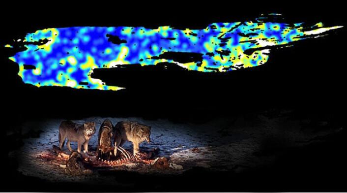 På kartet over området ved kysten av Isle Royale National Park vises stedene der ulvene har felt elg som gule og hvite flekker i landskapet. Disse flekkene er også områder med mye næring i jorda. (Foto: Michigan Technological University)