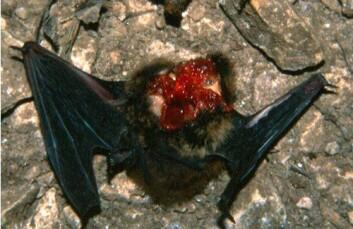 Flaggermus fra hulen i Ungarn, drept av kjøttmeis. (Foto: Petér Estók)