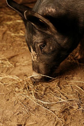 """""""Griser er glad i å rote rundt i halm og høy, og i eksperimentet fikk grisene i de fineste bingene fersk halm hver dag. (Illustrasjonsfoto: iStockphoto)"""""""