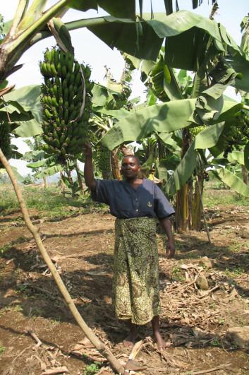 Stor bananklase i Tanzania. (Foto: May-Guri Sæthre)