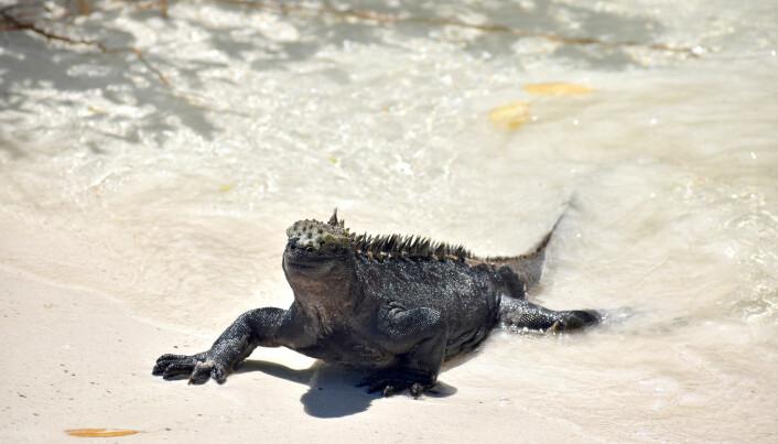 Haviguanene på Galapagos lever av alger på havbunnen, og forskerne frykter at de får i seg mye plast.